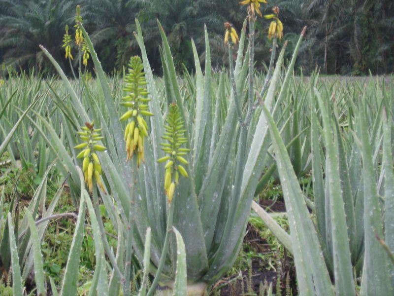 Aloe vera (L.) Burm. f.