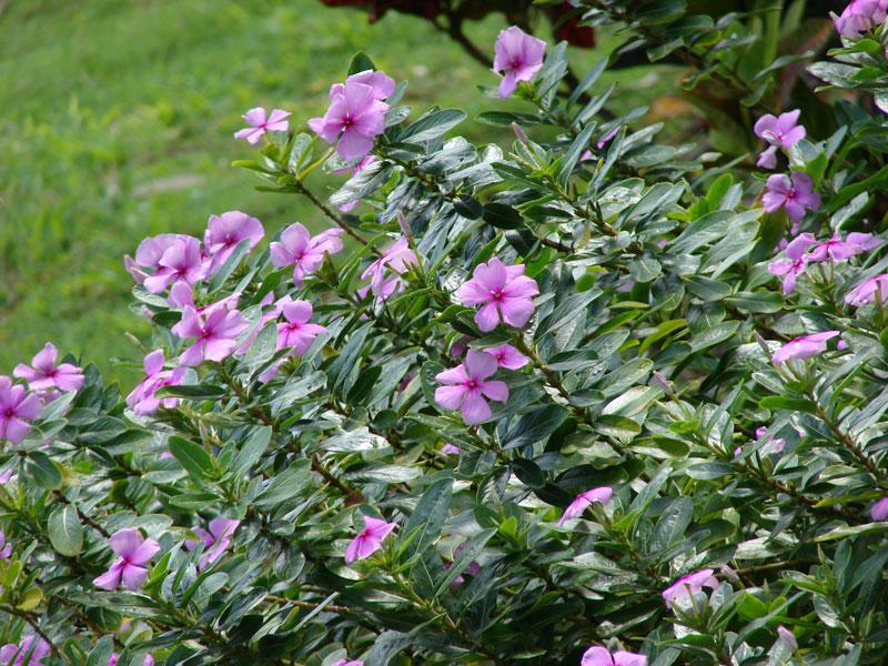 Catharanthus roseus-(L.)--G