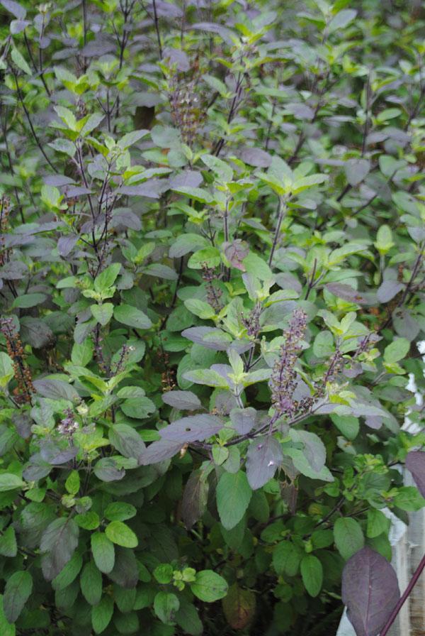 Ocimum tenuiflorum L.