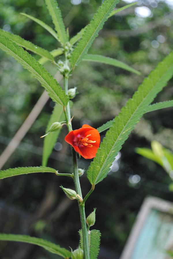 Pentapetes phoenicea L.